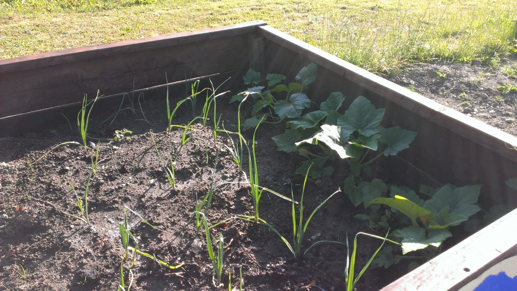 leek crop in raised bed