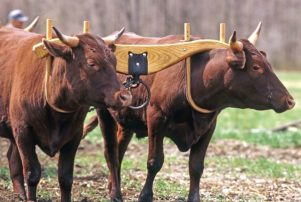Yoke and oxen